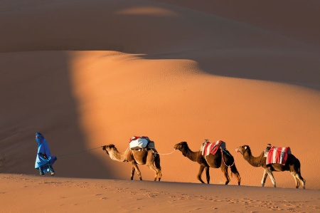 Camels walking in desert sand dunes