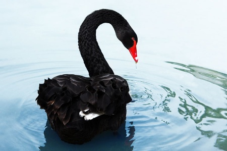 Black swan swimming and drinking