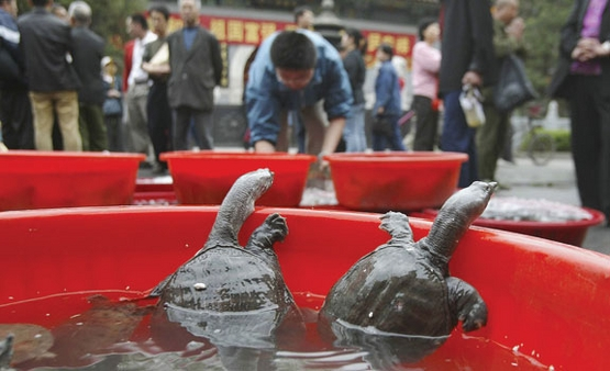 Sea turtles homing in on China must swim against academic tide