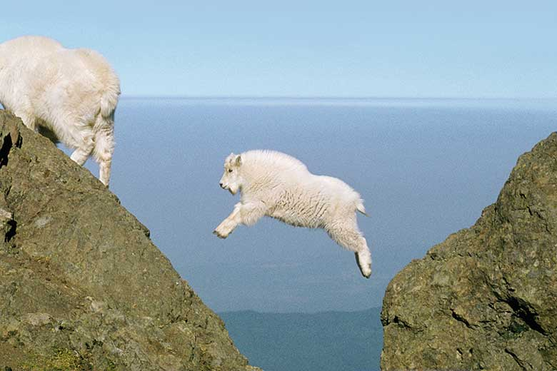 Baby mountain goat jumping a gap