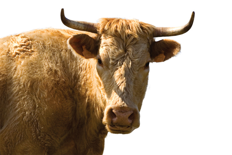 Bull angrily looking into camera
