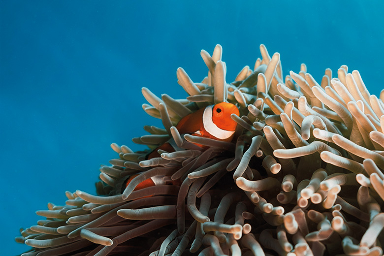 Clown fish hiding among anemone