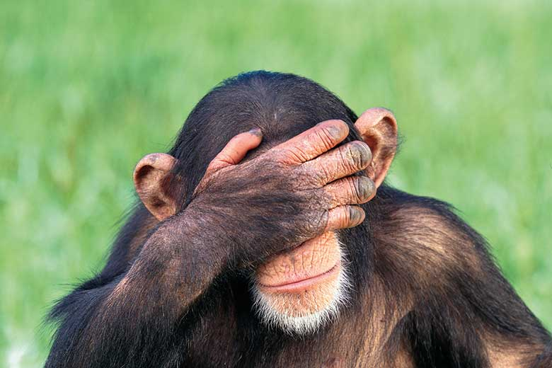 Embarrassed chimpanzee with head in hands