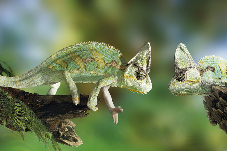 iguanas.