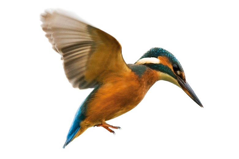 Kingfisher bird in flight