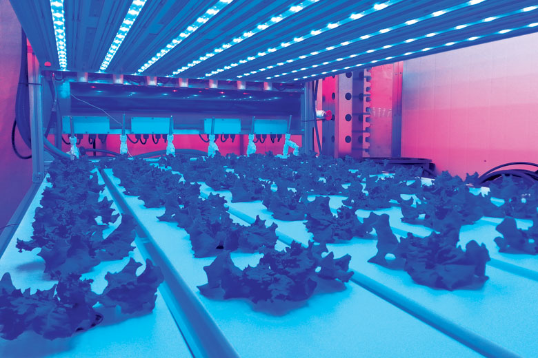 Lettuce being grown beneath artificial light sources