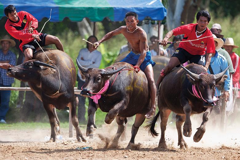 Men racing buffalo in Thailand