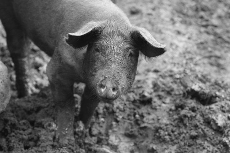Pig standing in mud