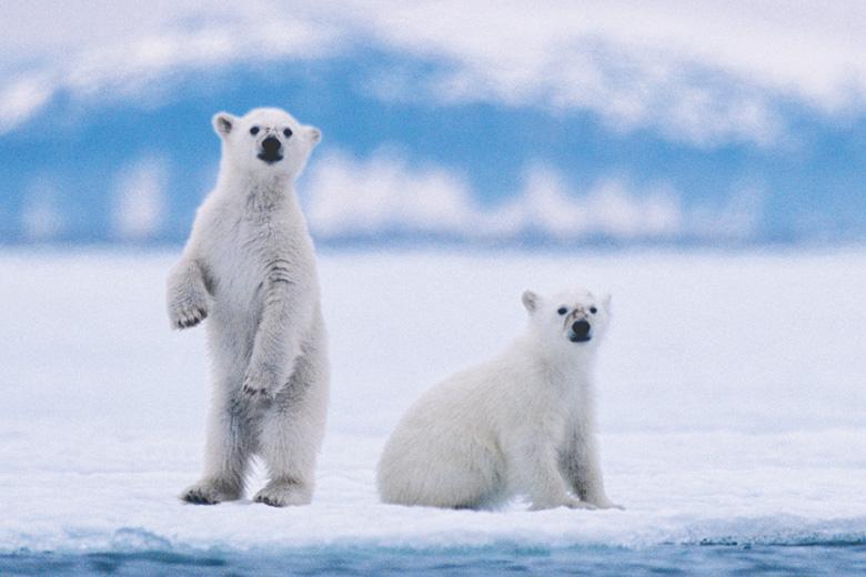 Polar bear cubs looking into camera, Svalbard archipelago