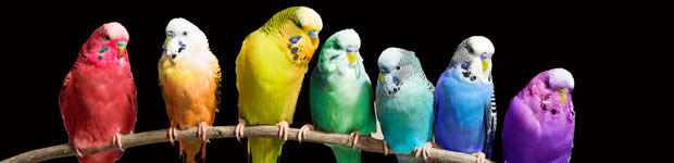 Multi-coloured budgies on branch