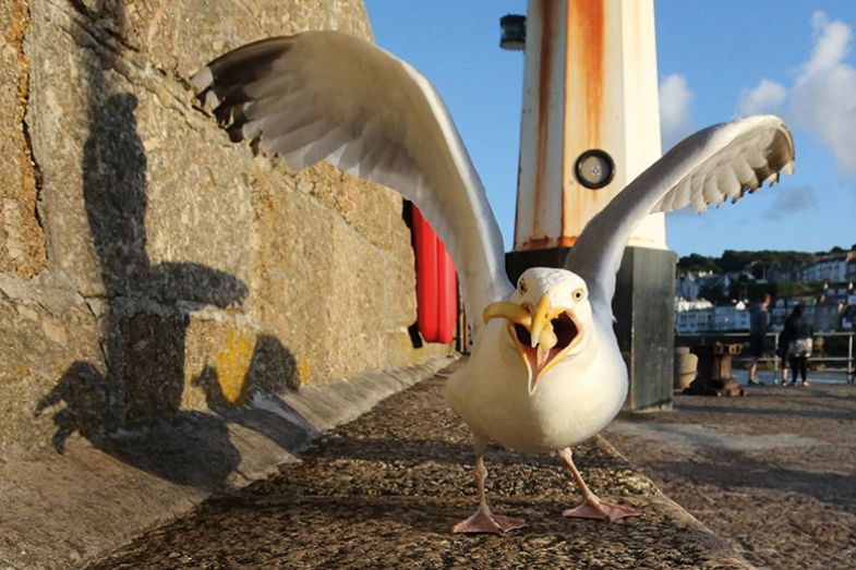 seagull-with-chip