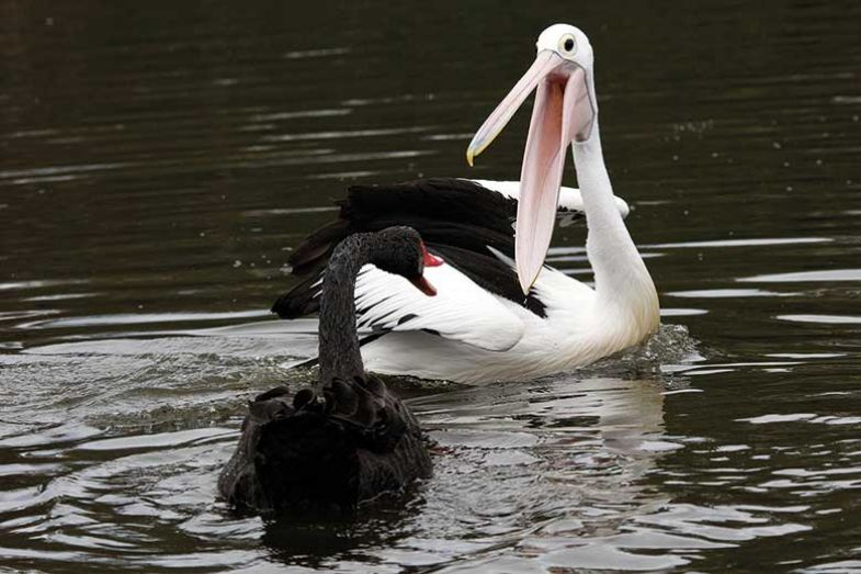pelican-vs-swan