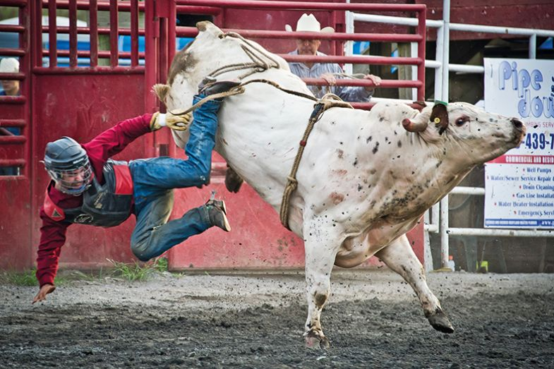 A bull bucking at a rodeo