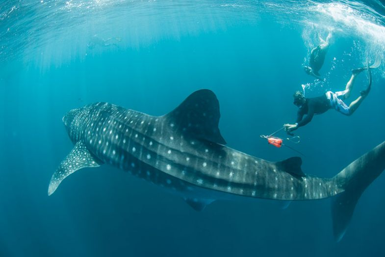 Tagging a whale shark