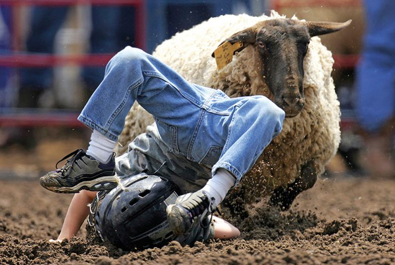 A person on the ground having been thrown off the back of a sheep