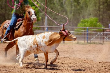 A cowboy on horseback attempts to loop a rope over a calf at a team event at a country rodeo