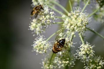 Bees pollinate a flower