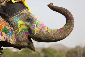 Decorated Indian elephant raising trunk