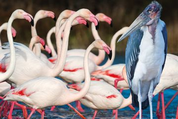 A group of flamingos and a Marabou stork