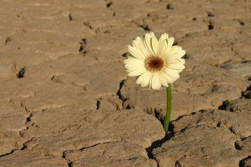 Flower growing from parched earth in desert