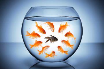 Goldfish staring at black fish in bowl (racism)