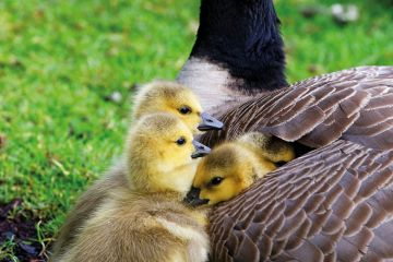 Goslings under wing