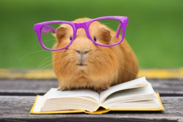 Guinea pig in glasses reading a book