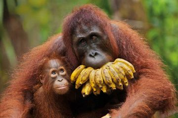 Orangutan with baby and bananas
