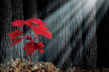 Red maple leaves lit by ray of sunlight