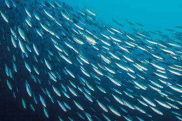 School of sardines swimming in ocean