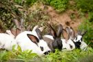 Group of rabbits grazing on leaves