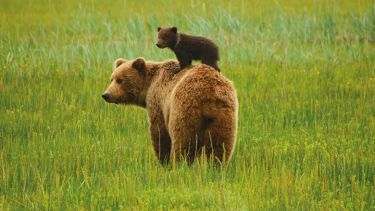 bear cub on mums back