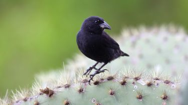 Common cactus finch (Geospiza scandens)