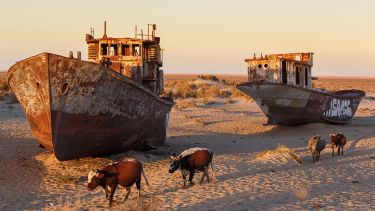 Cows by derelict ships