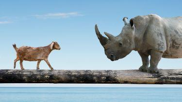 Goat and a rhino on a bridge