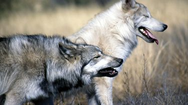 Pair of wolves walking among long grass