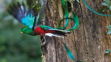 Resplendent quetzal (Pharomachrus mocinno) in flight, Mexico