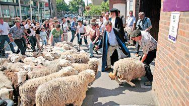 Sheep in a school