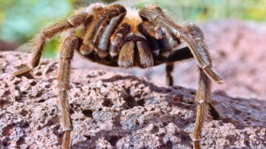 tarantula, spider