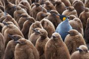 Adult king penguin standing among young penguins