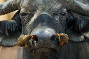 Birds feeding from buffalo's nostrils