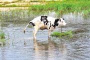 urine cow pee