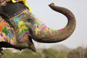 Decorated Indian elephant raising trunk
