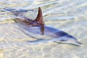 Dolphin swimming in shallow water