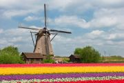 Dutch tulip field