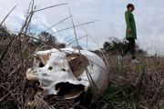 Human skull lying in-grass, researcher Kate Spradley in background