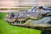 Crocodile, predator, predatory