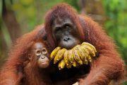 Orangutan with baby and bananas