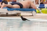 Raven in swimming pool