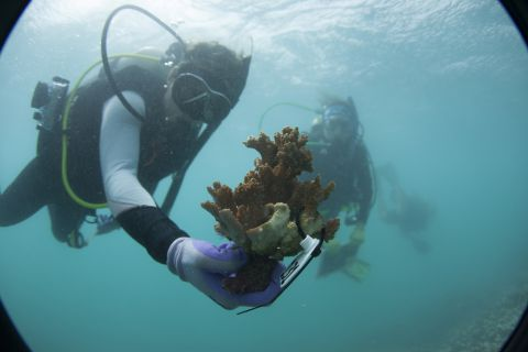 Divers on coral reef in Hawaii as part of Ruth Gates research